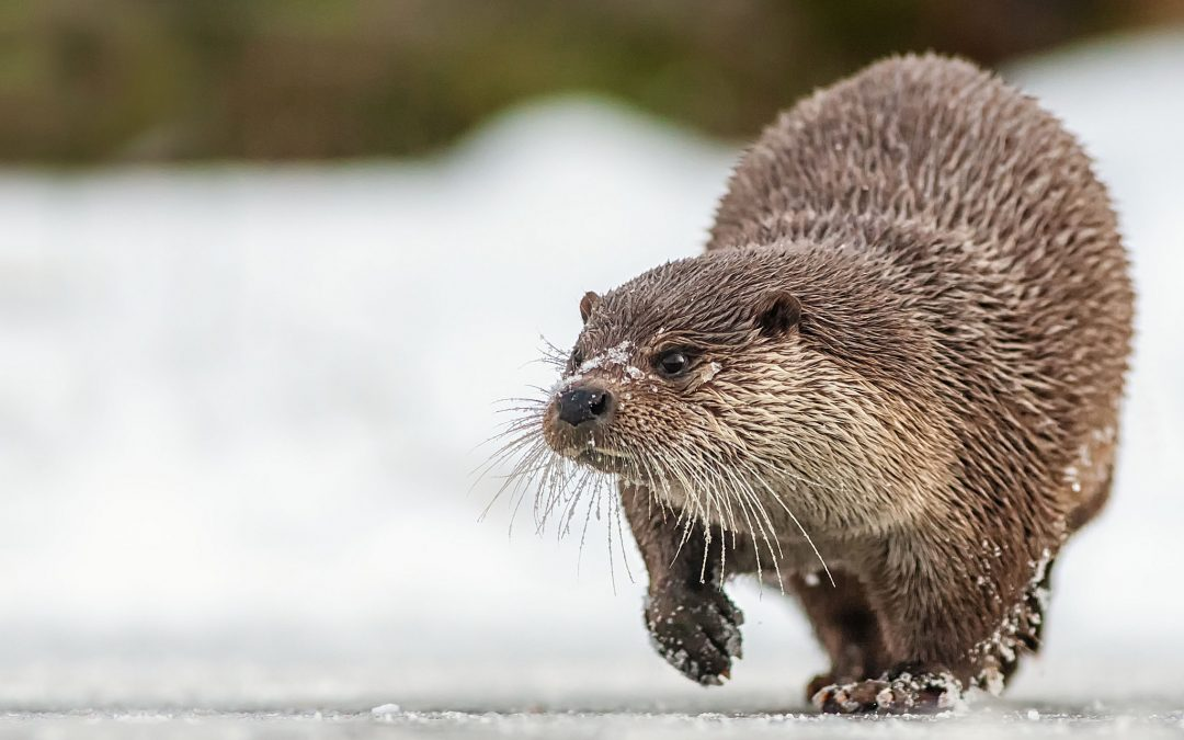 Aziatische Tiny Clawed Otter